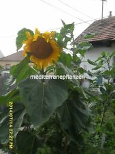 Hungarian Giant Sunflower, up to 4 meters, short growing period, 30 seeds