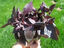 0.5g (approx. 380) red basil seeds OCIMUM BASILICUM ideal for container growing