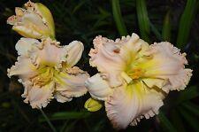 PLANTS-DAYLILY- 10 Mixed  Daylilies