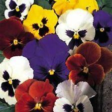 Pansy - Swiss Giants Mixed - 200 Seeds