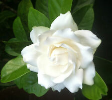 "GARDENIA - MYSTERY -  CAPE JASMINE - WHITE - 1 PLANT - 4"" POT - VERY FRAGRANT"
