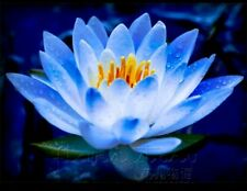 Rare Sacred Blue Lotus(Nelumbo Nucifera) Flower 10 seeds, High Germination