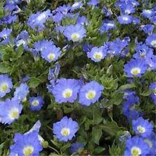 Chilean Bellflower- Blue (Nolana Paradoxa) Blue - 50 seeds