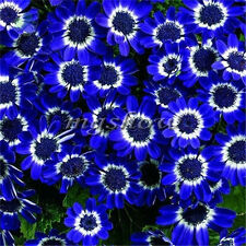 80Pcs Blue Eyed Daisy Osteospermum Seeds Ecklonis Decor Cape Mixed Flower Garden