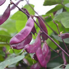 6 Purple Haricot Bean Seed Lablab Purpureus Sweet Organic Vegetable