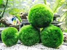 Giant Marimo Moss ball Golf ball size aquarium planted tank FREE SHIPPING!