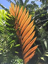 (Chambeyronia macrocarpa) Flame thrower palm 12 inch high, 4 IMMATURE leaves