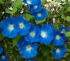 Morning Glory, Heavenly Blue, 20+ Seeds, Organic, Beautiful Season Long Blooms