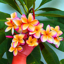 "Plumeria Seeds/Flowers Fresh 50 seeds "" ORANGESCRENT ""  NEW RARE !!!"
