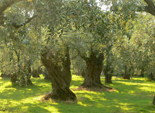 12 Seeds From The Greek Ancient Olive Tree *Best Variety  100% Germination*