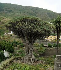 Dracaena Draco - DRAGON'S BLOOD TREE - 10 x Fresh Tropical Seeds