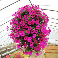 50Pcs Trailing Petunia Hanging Petunia Seeds Hybrida Garden Flowers Home Decor