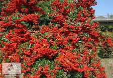 10 x Pyracantha Firethorn For Hedging Mixed colouerd Berries over 6ft high