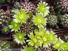 Echinocereus viridiflorus CR 1013 /  Kansas/USA - frostfest - selten - 200 Korn