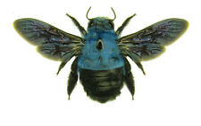 Taxidermy - real papered insects SPREAD :  Xylocopa caerulea SET OF 2