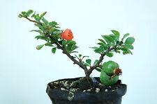Chojubai japonés Membrillo, material de Arranque Árbol Bonsai Rojo Chaenomeles speciosa