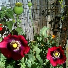 Poppy- Pepperbox- 200 Seeds-     50 % off sale