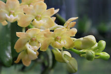 Orchid rhynchostylis gigantea yellow. Young plant. FREE WORLD POST.