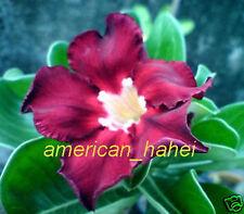 "Adenium Obesum Desert Rose ""Black_Red"" Fresh 100 Seeds"