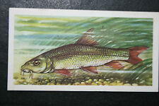 BARBEL  Freshwater Fish  Vintage Illustrated Card  VGC / EXC
