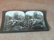 PHOTO STEREOSCOPE STEREOGRAPH 1905 CUBA CUTTING TOBACCO LA HAVANE RECOLTE TABAC