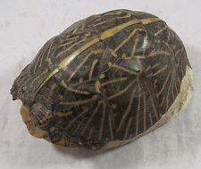"Box Turtle Shell Taxidermy Home Decor Crafts 5.5"" Inch"