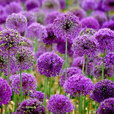 10Pcs Purple Giant Allium Giganteum Flower Seeds Garden Plant Beautiful New L7