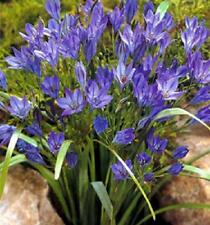 Mountain Lily Brodiaea Queen Fabiola 15 Fresh Bulbs Excellent Cut Flower Nice!