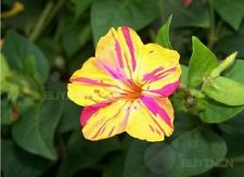 four o'clock Perennial Flower seed 20 seeds Mirabilis jalapa colorful jasmine