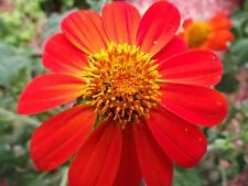 150 SEEDS Mexican Sunflower Tithonia Rotundifolia Red Torch Flower Garden