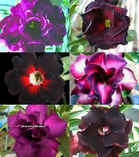"NEW! Black&Purple Adenium Obesum Desert Rose ""Mixed"" 6 Plants 6 Type!"