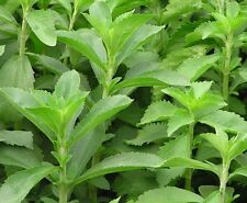 50 STEVIA Rebaudiana Sweetleaf Herb Flower Seeds ~Natural Sugar Substitute~