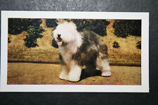 Old English Sheepdog  Bobtail   Vintage Photo Card  #  Excellent Condition