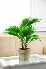 die sagenhafte Schirm-Palme trägt schöne, große, glänzende Früchte !