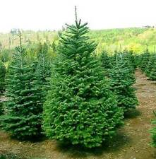 50 Balsam Fir Tree Seeds, Christmas Trees, Abies balsamea