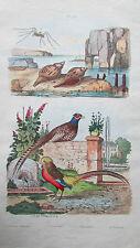 Gravure en couleur XIXè s. Faisan courant Faisan doré Fasciolaire Faucheur