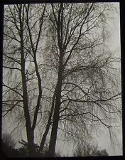 Glass Magic Lantern Slide WEEPING BRANCHES IN FOG C1920 PHOTO NATURE STUDY TREES