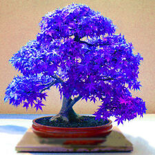 10pcs New Amazing Rare Blue Maple Seeds Bonsai Tree Plants Potted