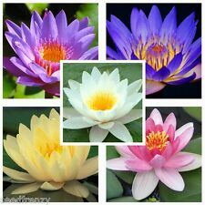 Water lily Mix Nymphaeaceae 10 seeds * Fresh seeds * Not lotus * CombSH