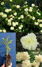 ROSA PARKS' YELLOW white bianco Tea-scented China Climber Rose rampicante alv