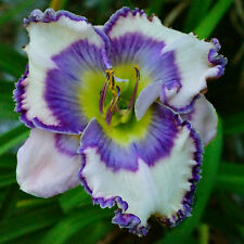 Dancing on Water Daylily 2017 Grace-Gossard introduction