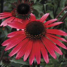 Echinacea Seeds - SOLAR FLARE -  Drought Tolerant Perennial - BIG SKY - 15 Seeds