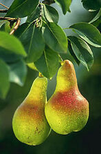Pyrus communis❋European❋BARTLETT PEAR❋25 SEEDS❋Large Fruits❋Ornamental Tree