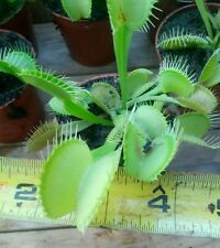Venus flytrap (Dionaea Muscipula) all yellow/green form. ( semi dormant)