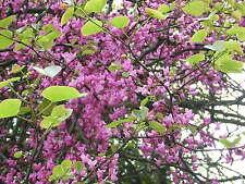 CERCIS SILIQUASTRUM Love tree albero di Giuda pianta plant vaso pot 18 cm