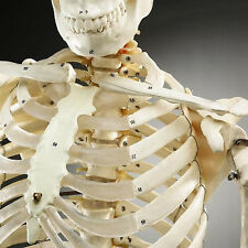 Life-Size Human Bucky Skeleton Numbered Bones Model