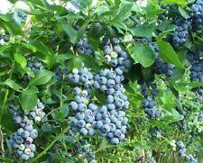 10 x Heidelbeeren anspruchslose Pflanzen Obststräucher für Blumentopf Kübel Bio