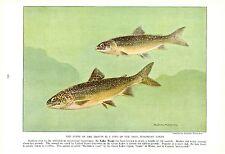 Vintage Scarce Hashime Murayama Fish Print ~ Lake Trout ~