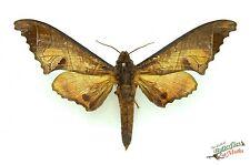 sphinx papillon de nuit Marumba sperchius ENSEMBLE x1 A- Thaïlande