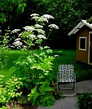 Huge Cow Parsnip- Indain Celery (Heracleum Lanatum) 8 ft TALL! 15 seeds !